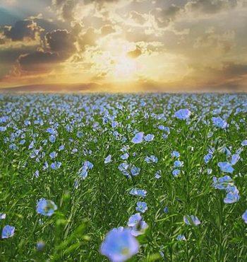 как цветёт лён